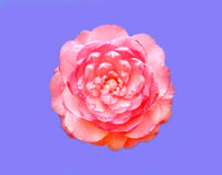 The pink Camellia flower Stock Photography