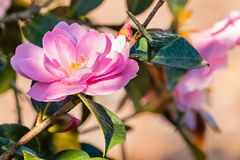 Pink camellia flower in bloom stock photography