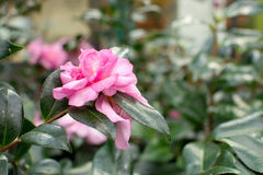 Pink camellia flower Royalty Free Stock Photos
