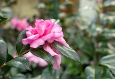 Pink camellia flower Stock Image