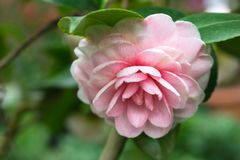 Pink camellia flower in full bloom stock images
