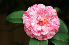 Pink camellia Royalty Free Stock Photography