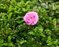 Pink Camellia Flower on green leaves. Single Pink Camellia Flower on green leaves in Hong Kong China stock photos