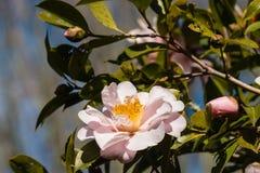 Pink camellia flower head stock photos