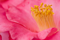 Pink Camellia flower - macro - close-up with yellow stamen Royalty Free Stock Image