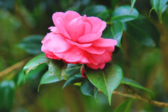 Pink Camellia flower with raindrops Stock Photography