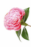 Pink camellia flower  on white Stock Image