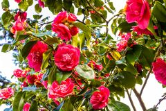 Pink Camellia flowers blossom in the garden in the spring. Time Royalty Free Stock Photography