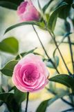 Pink camellia flowers growing in the home garden. Close up stock photography