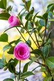 Pink camellia flowers growing in the home garden. Close up royalty free stock photos