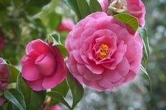 Pink Camellia flowers on tree Stock Photo