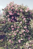Pink Camellia Stock Photography