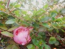 Camellia and honeysuckle 2 stock photos
