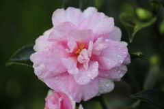 Pink Camellia. This image contains a pure pink Camellia Royalty Free Stock Photos