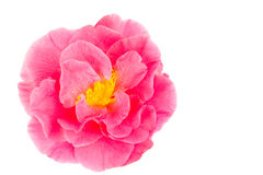 Pink camellia isolated on white Stock Photo