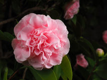 Pink Camellia japonica with fully opened flower head Royalty Free Stock Photos