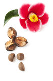 Pink camellia. And nuts isolated on a white background Royalty Free Stock Photography