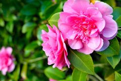 Pink camellia. Pretty pink camellia in the garden Royalty Free Stock Image
