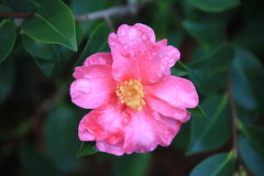 Pink camellia with raindrops. Bright pink camellia with rain drops against dark green leaves stock image