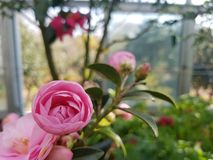 Pink camellia. It& x27;s got a bunch of camellia petals in it Stock Images