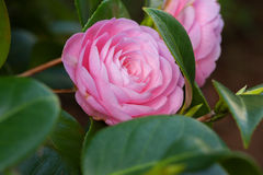 Pink Camellia sasanqua flower with green leaves Royalty Free Stock Image