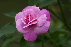 Pink camellia. A pink camellia in spring stock images