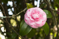 Pink camellia Royalty Free Stock Images