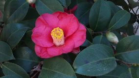 Pink Camellia stock footage