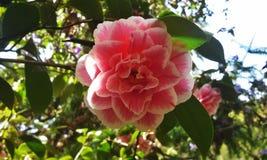 Pink Camillia Stock Photo