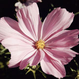 Pink camomile like flower - vintage effect. Royalty Free Stock Photography