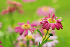 Pink camomiles Stock Image