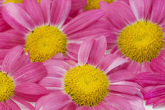 Pink camomiles background macro Stock Photography