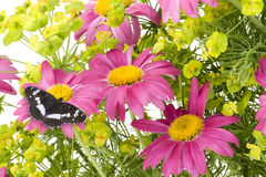 Pink camomiles and  black butterfly  collage. Pink camomiles and black butterfly collage postcard background. Isolated on white. With butterfly path Royalty Free Stock Photography