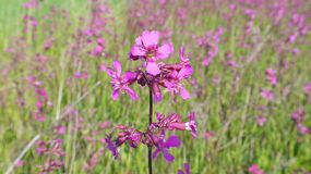 Pink campion. Flower among others Stock Photo