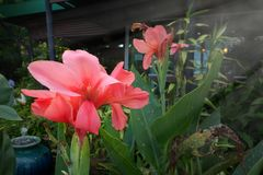 Pink Can na lilly. In garden Stock Photo
