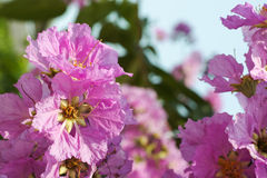 Pink Cananga. Flower is blooming in the garden stock photography