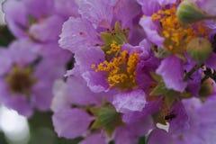 Pink Cananga odorata. Sweet purple flower blooming Royalty Free Stock Photo