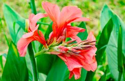 Canna lily flower, Nice flower plant Stock Photos
