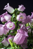 Pink canterbury bell flower Stock Images