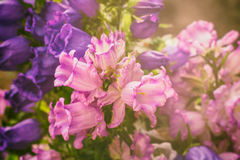 Pink canterbury bells. Champion Campanula, commonly known as Bellflower, is a well-known flower.ii Royalty Free Stock Images