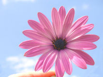 Pink cape daisy Stock Photography