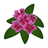 Pink Cape Periwinkle Flowers or Madagascar Periwinkle FlowersPink Cape Periwinkle Flowers or Madagascar Periwinkle Flowers Stock Photos