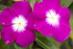 Pink Cape Periwinkle, Vinca Stock Image