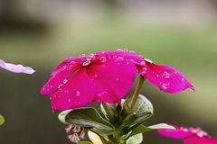 Pink Cape Periwinkle Royalty Free Stock Photos
