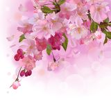 Pink card with cherry branch of flowers Stock Photo
