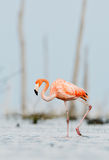 The pink Caribbean flamingo goes on the water. stock images