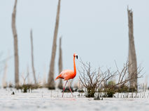The pink Caribbean flamingo goes on water. stock photography