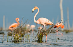 The pink Caribbean flamingo goes on water. Royalty Free Stock Photos
