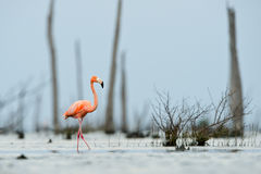 The pink Caribbean flamingo goes on water. Royalty Free Stock Images