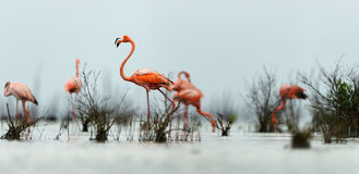 The pink Caribbean flamingo goes on water. Stock Photo